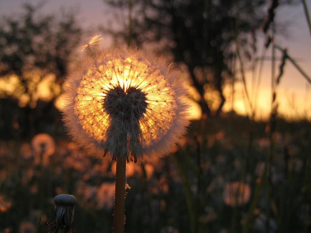 Field of dandelions (3) by Wo-olverine