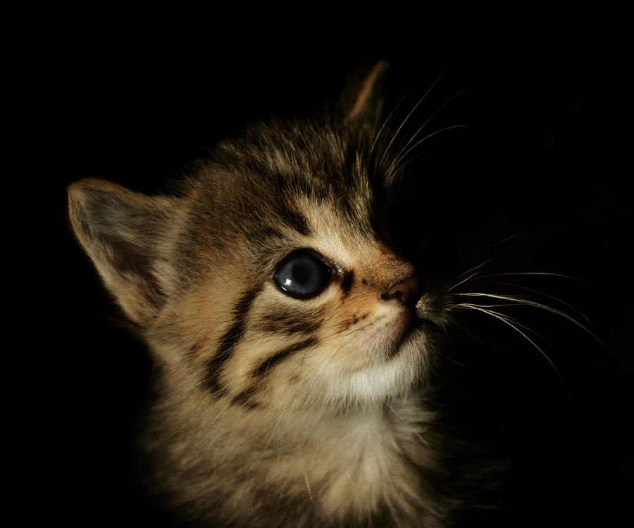 Kitten by Fradoc