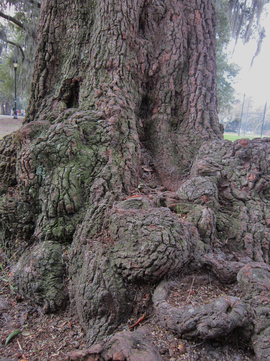 Pin Oak-tree-roots-drawing-scratchboard-illustrations ...