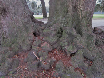 Gnarled Oak Tree Roots 5 by graceofbass