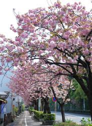 Summer Collection: Sakura Drops by Rosebud-Warrior
