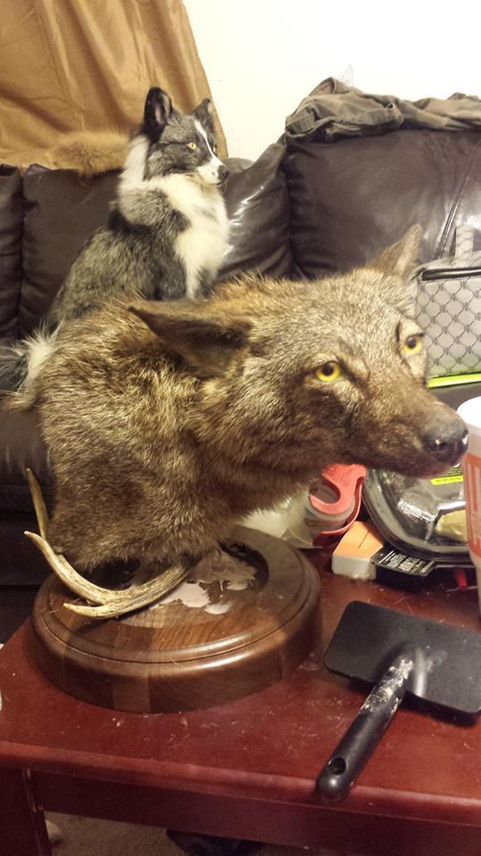 Brindle Coyote wip by CreatureUndertaker