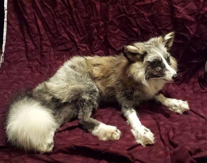 dark whitemark cross fox for sale by CreatureUndertaker