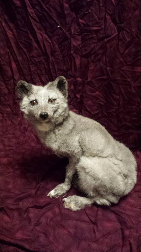 blue fox for sale by CreatureUndertaker