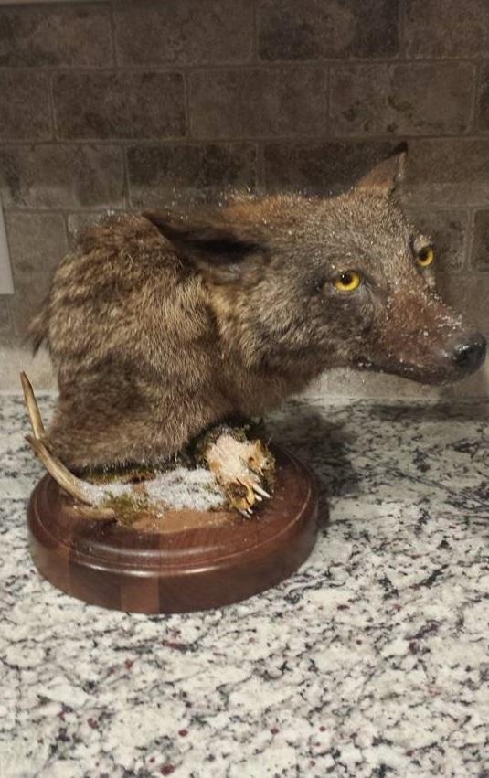 brindle coyote '15 by CreatureUndertaker