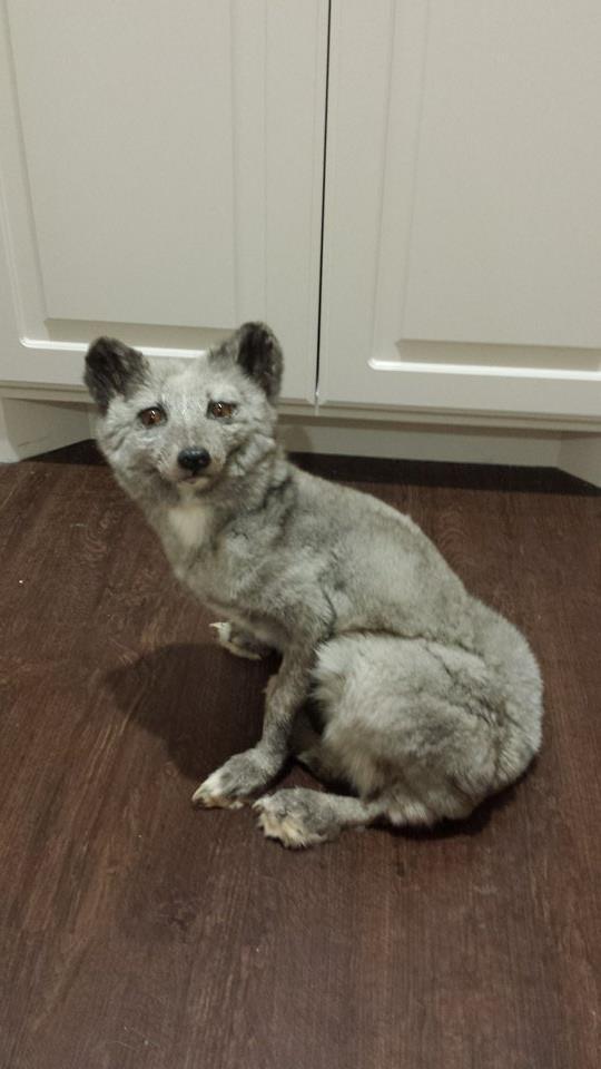 Blue arctic fox SOLD by CreatureUndertaker