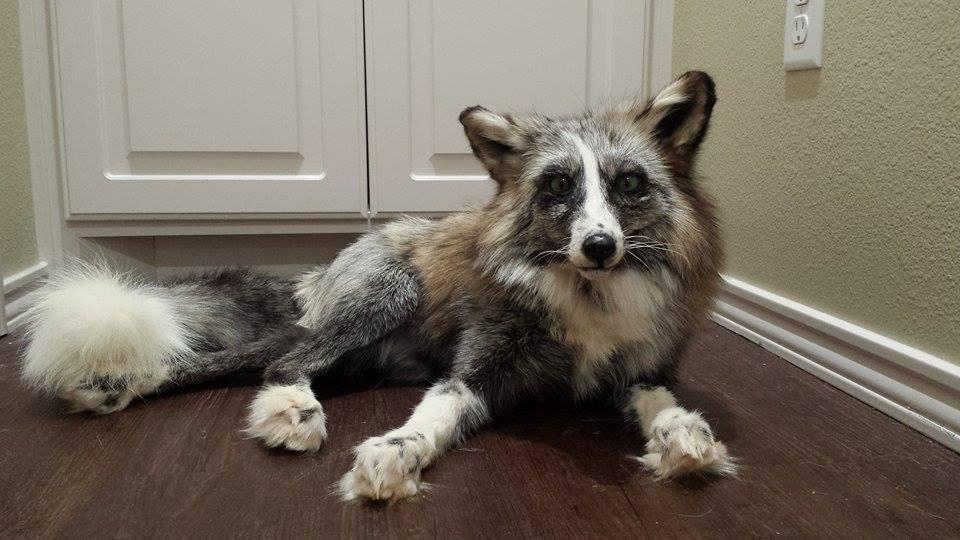 Whitemark cross fox for sale HELD by CreatureUndertaker