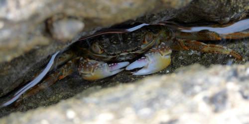 Crabe / Crab by PhotosCrystalJones