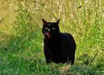 Chat noir / Black cat