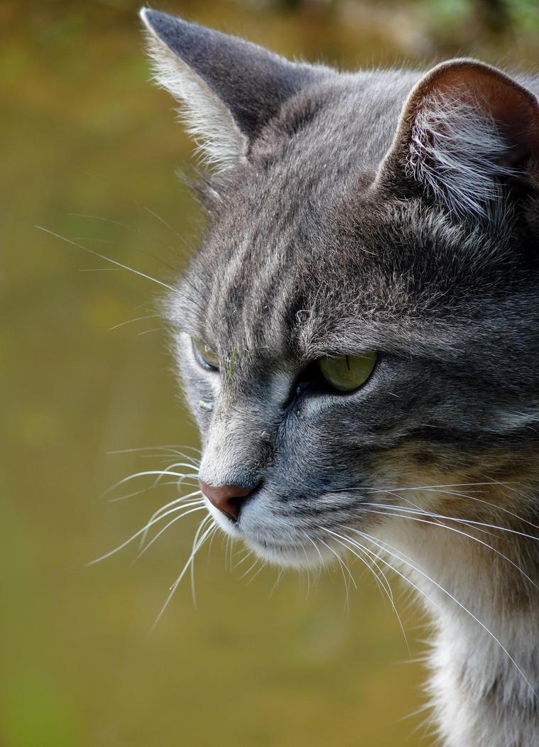 Grey cat by PhotosCrystalJones