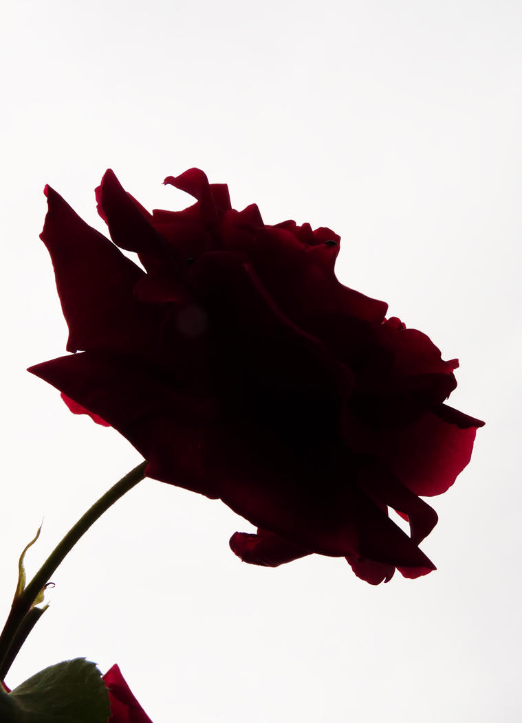 Red rose against the light by PhotosCrystalJones