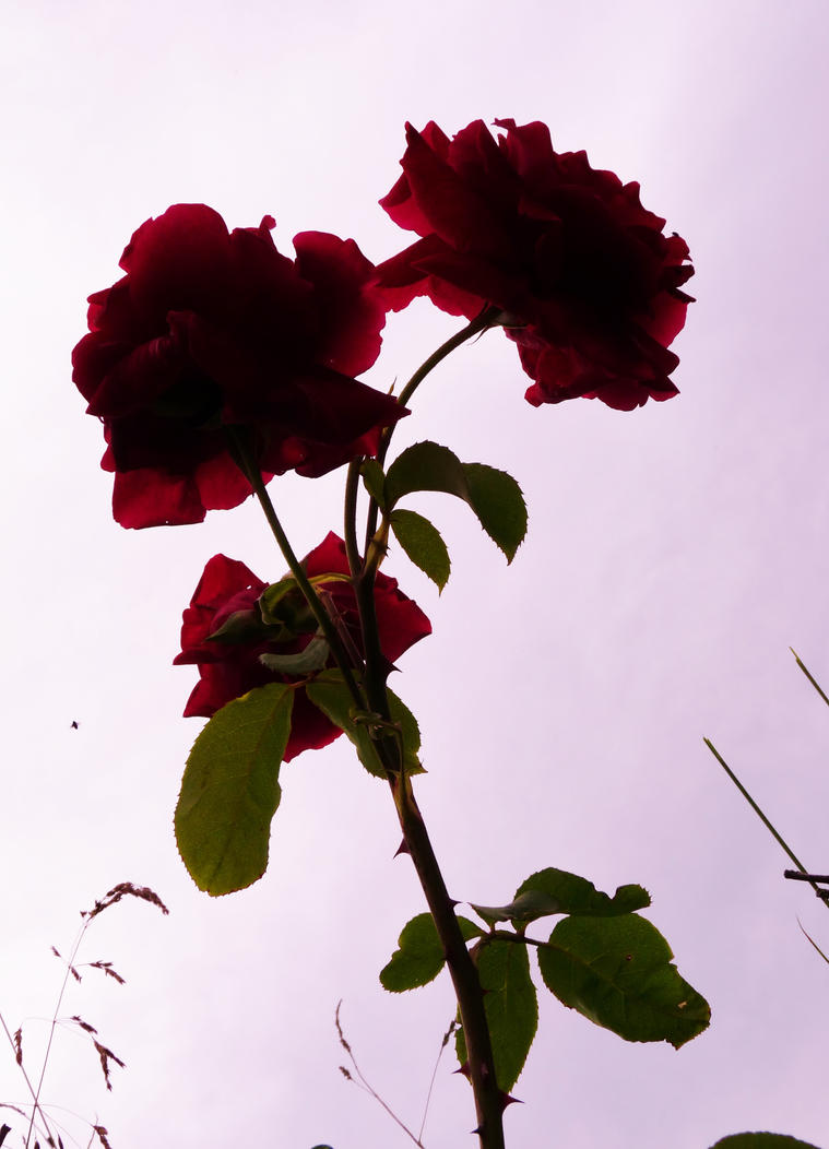 Red roses against the light by PhotosCrystalJones