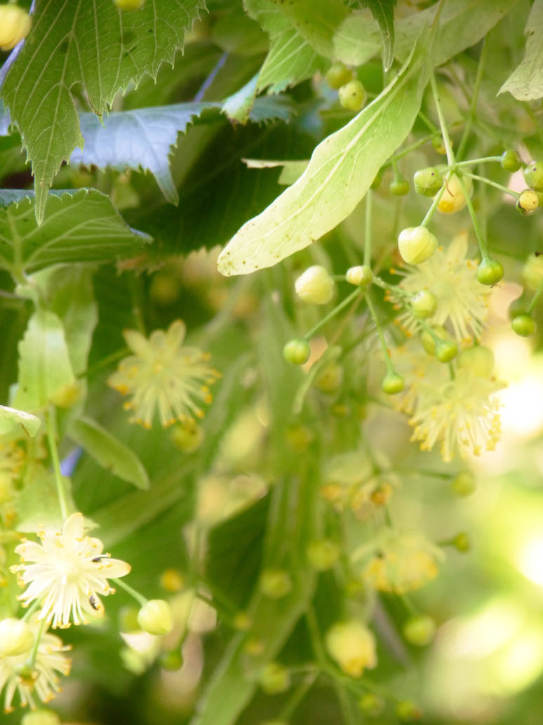 Linden flowers by PhotosCrystalJones ...