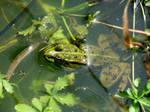 Frog by PhotosCrystalJones