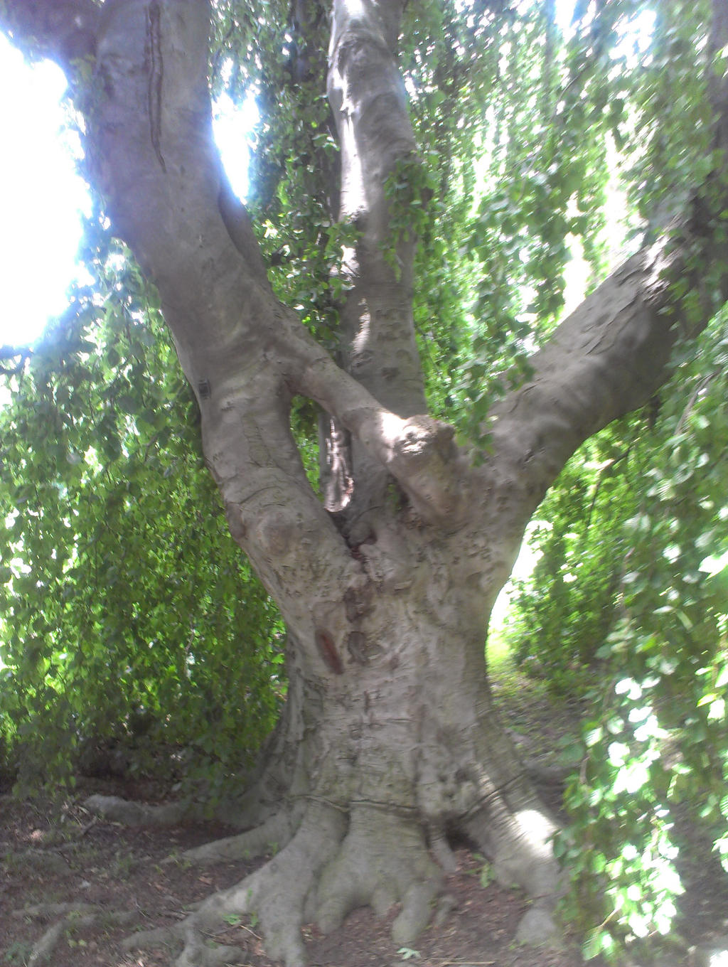 Weeping Beech by Android-shooter