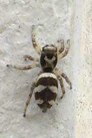Zebra spider by Android-shooter