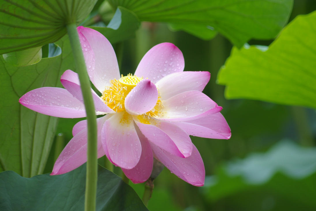 Lotus In Rain by Rubixa-Seraph