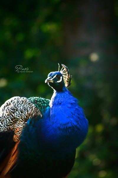 Pavo by LovesTheMuffin