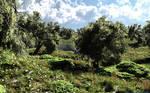 Olive spring field