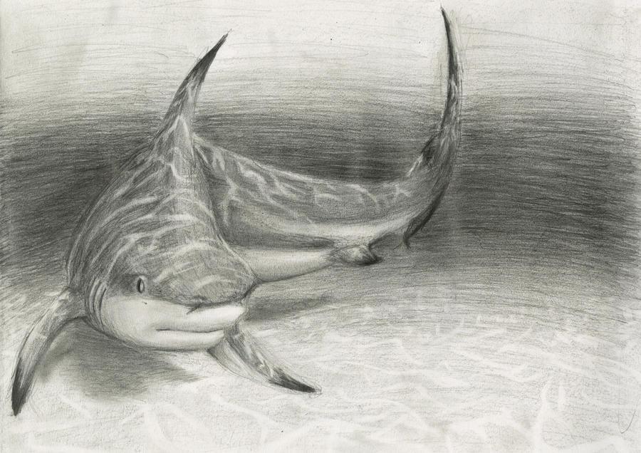 White Tip Reef Shark Drawing Tip Reef Shark Drawing
