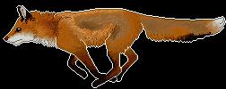 Red fox running F2U page decor