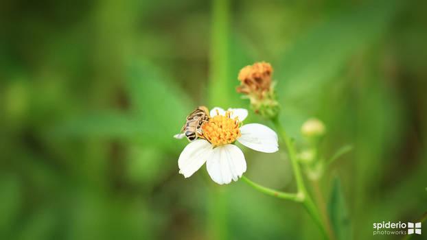 Flower bee wallpaper HD