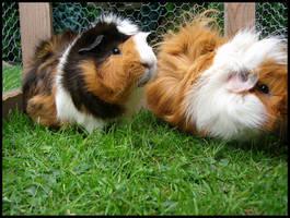 guinea pigs by buttervlieg