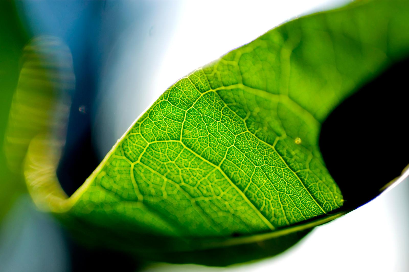 Veins of Leaf I