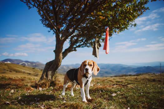 Beagle Leia