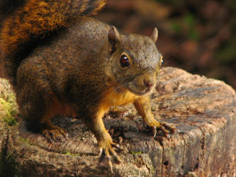 Squirrel stock by lillyfly06-stock