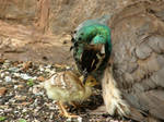 Peahen and her chick by purple-whirlpool