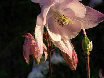Pink columbine by purple-whirlpool