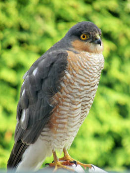 Sparrow Hawk by purple-whirlpool
