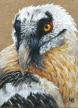 Bearded Vulture ACEO