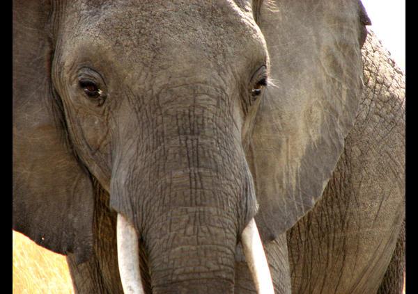 Elephant by eaukes
