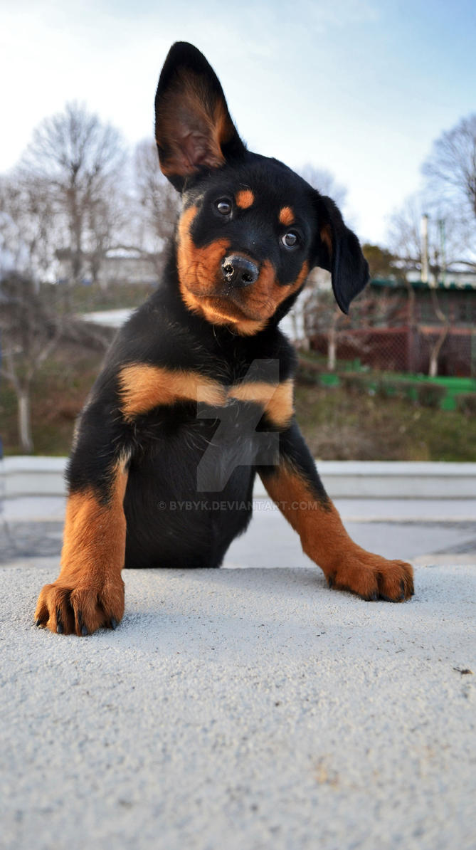 little rottweiler by bybyk