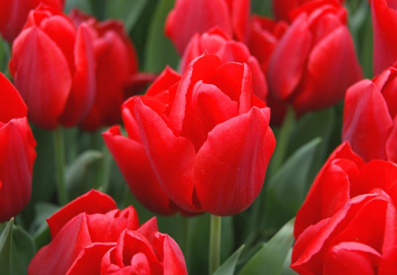 tulips-2 by benim-deviantart