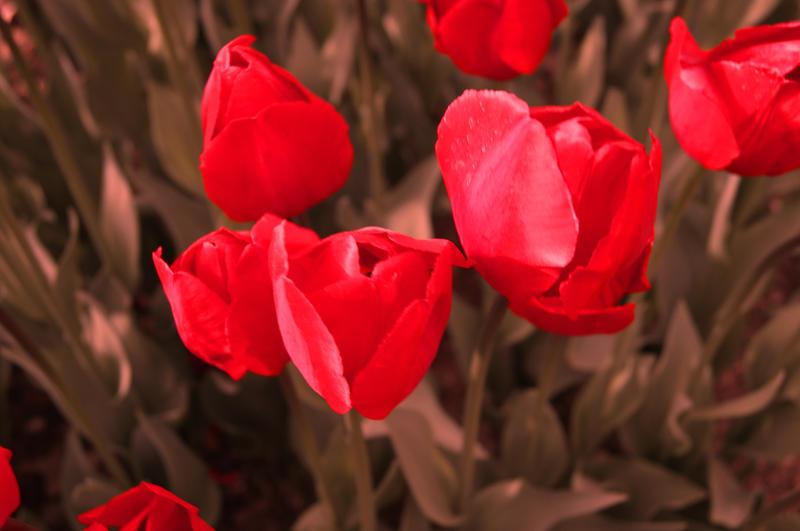 tulips-3 by benim-deviantart