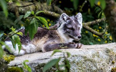 Artic Fox by nigel3