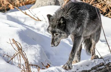 Wolf in snow by nigel3