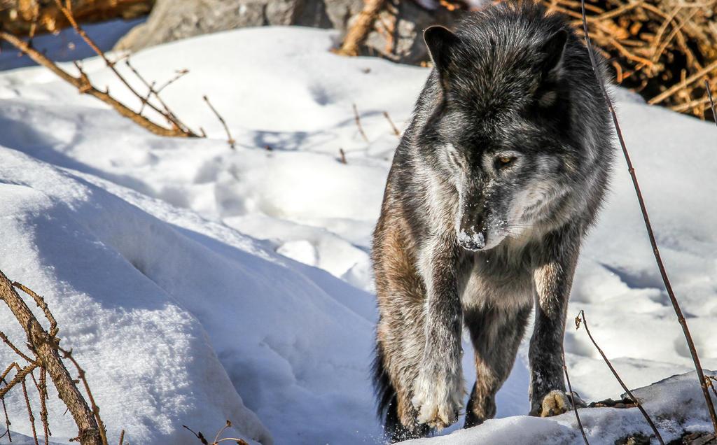Wolf 2 by nigel3