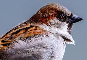 Proud Sparrow by nigel3