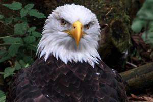 Bald Eagle 4 by nigel3