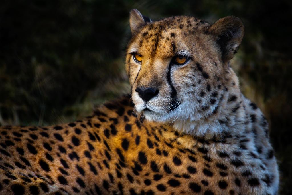 Cheetah by nigel3