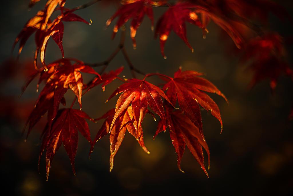 Maple by nigel3