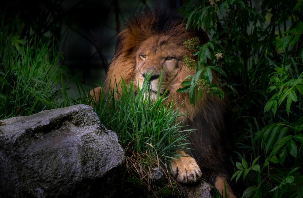 Lion 4 by nigel3