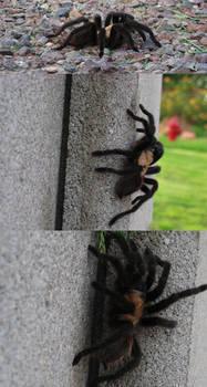 tarantula wat