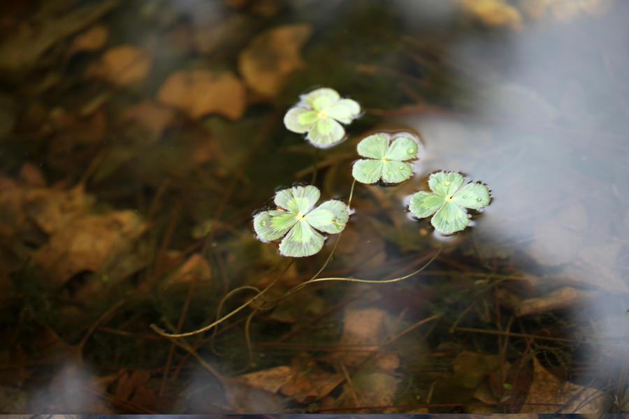 Lucky Lily Pads by Samalander75