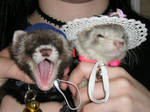 Ferrets With Hats?