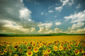 Sunflowers 2008 by EdSinger